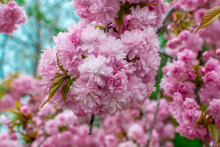 Blooming Louisiana, three-lobed almonds, soft pink lush flowers on a branch of a bush 版權商用圖片