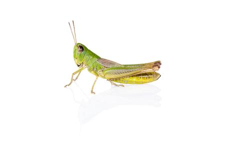 insetto cavalletta verde su sfondo bianco con riflesso