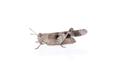 Grasshopper insect on white background with reflection