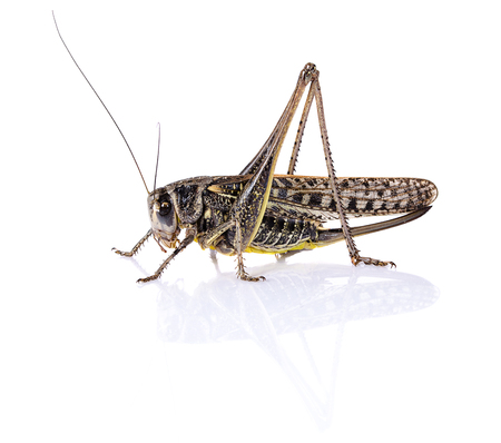 Grasshopper locust insect on white background