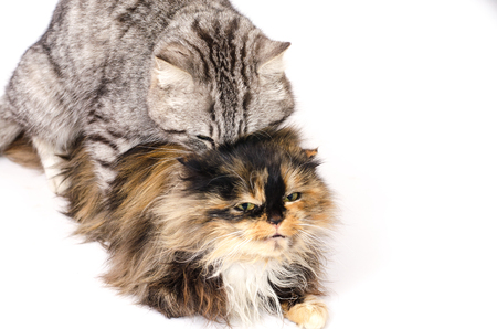 adult pets cats engaged in sexual intercourse on a white background