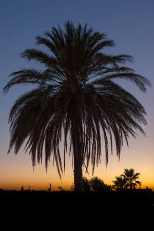 Palm tree after sunset taken in backlit photo