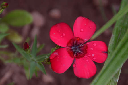 red flowers in the garden after rain