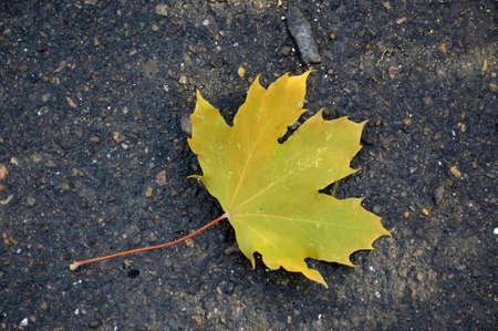 autumn maple leaf lies on wet asphalt Banco de Imagens