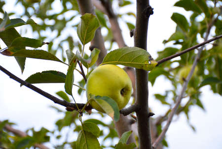 ripe yellow apple hanging on a tree branch surrounded by yellowing leaves