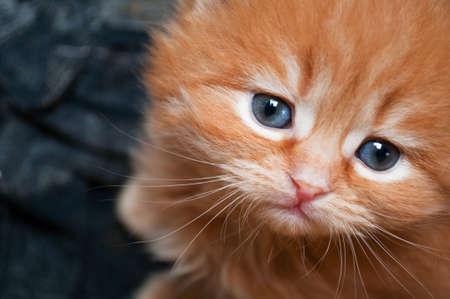 sad kitten with blue eyes photo