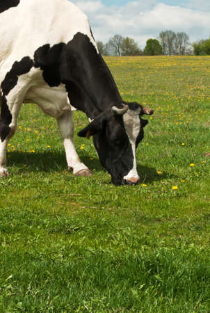 Cow on a summer pasture on the field Stock Photo - 9856408