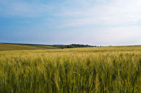 green wheat field and blue cloudy sky Stock Photo - 9856424