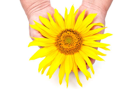 sunflower in the hands isolated on a white background photo