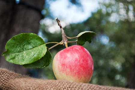 organic apples in the garden on the old tissue Stock Photo - 10613682