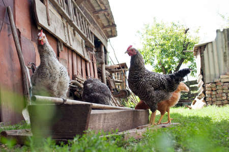 a lot of chickens in the yard in the village Stock Photo - 10614789