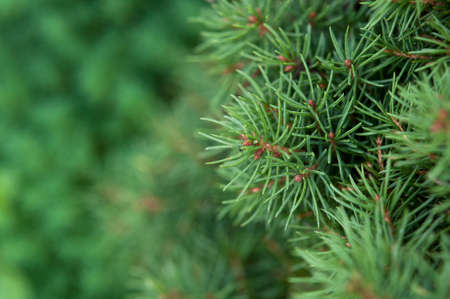 twiggy: macro photo of green fir-tree on the background Stock Photo