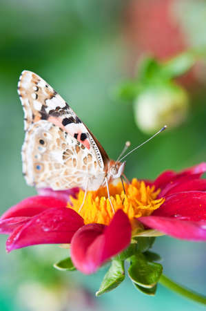 macro photo with beautiful butterfly rests on a red flower