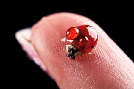 closeup of ladybird on finger isolated on a black background photo