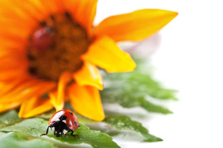 ladybirds on green leaf and yellow flower isolated on a white background Stock Photo - 11357322