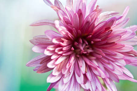 closeup of chrysanthemum flower on green background photo
