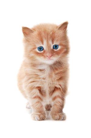 흰색 배경에 고립 파란색 눈을 가진 생강 키티