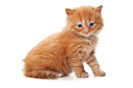 ginger kitty with blue eyes isolated on a white background