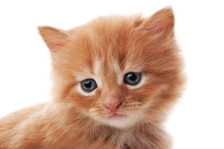ginger cat isolated on a white background Stock Photo - 13509255