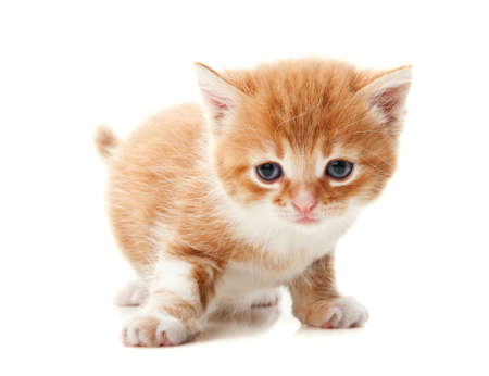 ginger kitten isolated on a white background photo