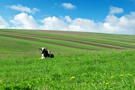 cow on green grass in village photo
