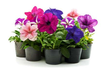 home flowers isolated on a white background Zdjęcie Seryjne