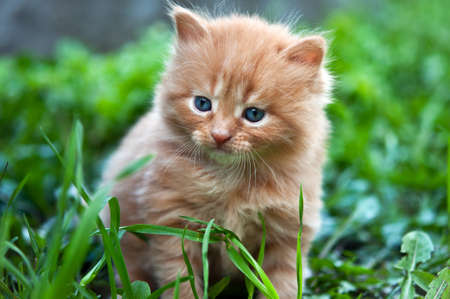 cut grass: beautiful ginger kitten on green grass Stock Photo