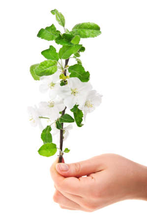 woman holding flower blossom isolated on white background photo