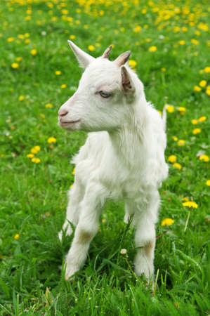 little white goat on the field in the village Stock Photo - 14062225