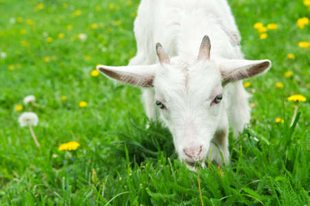 little white goat on the field in the village photo