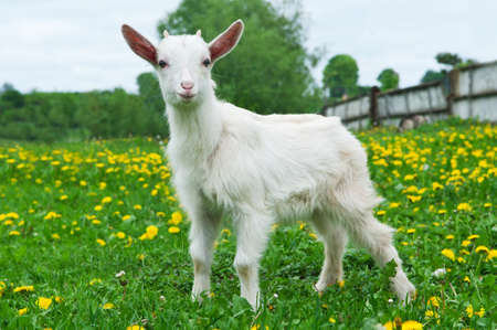 little white goat on the field in the village Stock Photo - 14062290