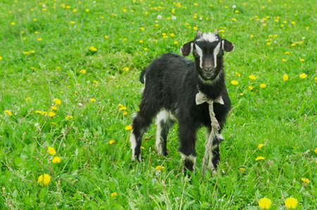 little black goat on the field in the village Stock Photo - 14062283