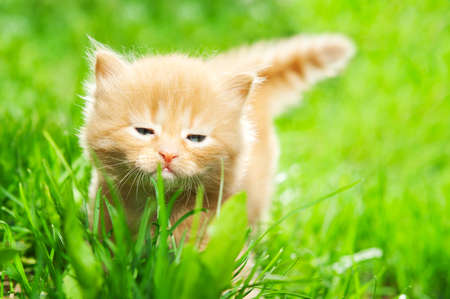 beautiful ginger kitten on green grass Stock Photo - 14056450