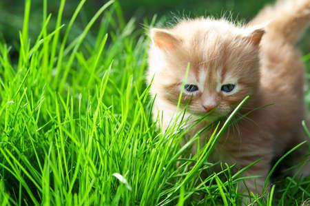 beautiful ginger kitten on green grass photo