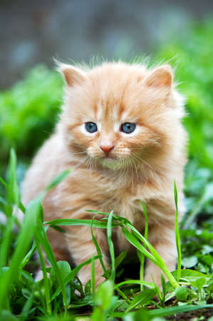 beautiful ginger kitten on green grass photo