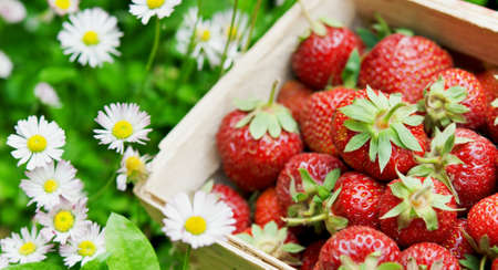 fresh strawberry in basket at garden photo