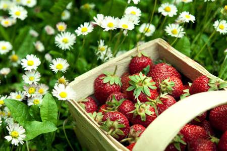 corbeille de fruits: fraises fra�ches dans le panier au jardin