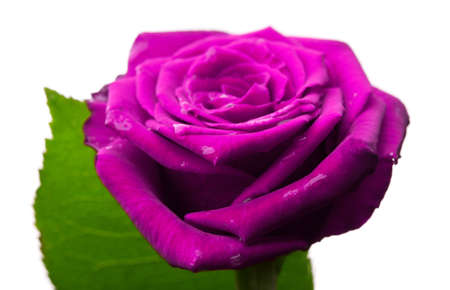 beautiful purple rose isolated on a white background photo