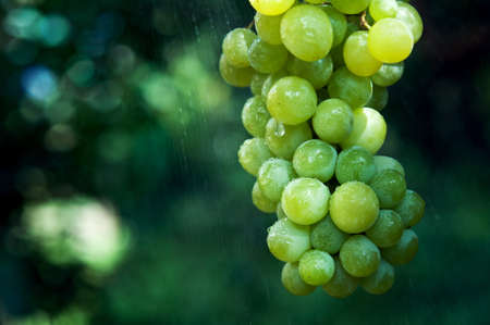 branch of green grapes and rain Stock Photo - 15507717