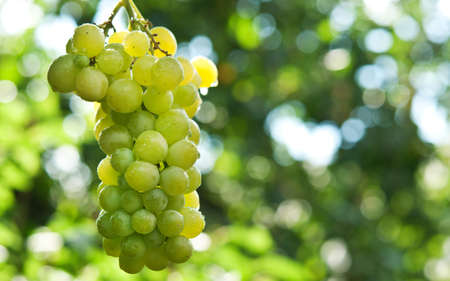 Bunche of green grapes on vine at background Stock Photo - 15507668