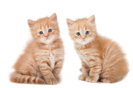 two small kittens looking isolated on a white background photo