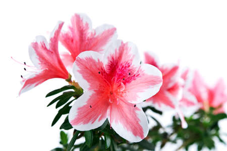 azalea flower isolated on white background photo
