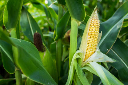 Closeup of food corn on green field, sunny outdoor background