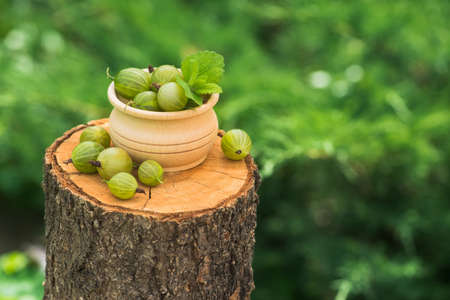 Fresh and natural gooseberry with mint leaf on a wood stump green garden. farming and harvesting berry. copy space text