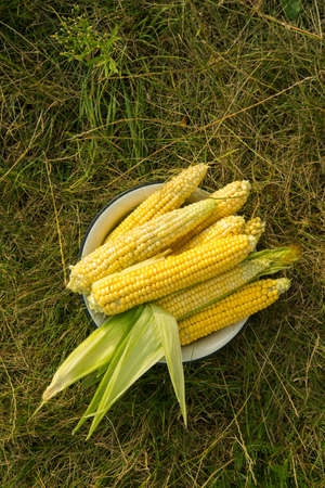 Macro photo of fresh yellow corn in old plate. Harvesting in the field. top view