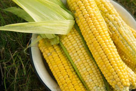 Fotografía macro de maíz amarillo fresco en placa vieja. Cosecha en el campo.