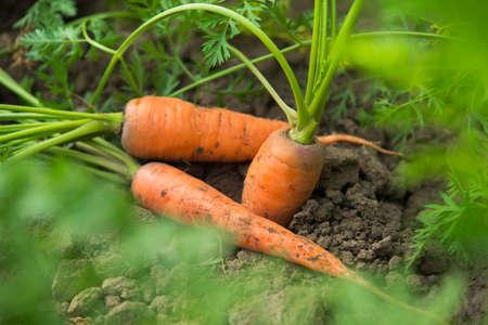 Raccolto fresco di carote sul campo in tempo soleggiato. senza OGM, verdure biologiche. Sfondo di mangiare sano.