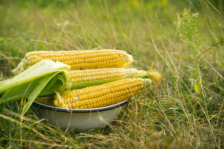 Macro photo of fresh yellow corn in old plate. Harvesting in the field. Stock Photo