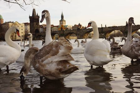 Swans about Charles Bridge, Prague, Czech Republic photo