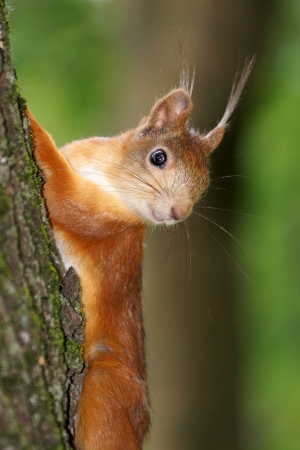 gripping hair: squirrel Stock Photo